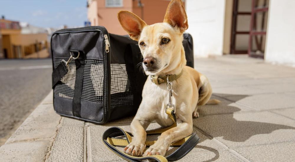 Viajar con Mascotas en Avión: Guía Básica