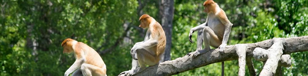 Borneo en Riesgo de Extinción